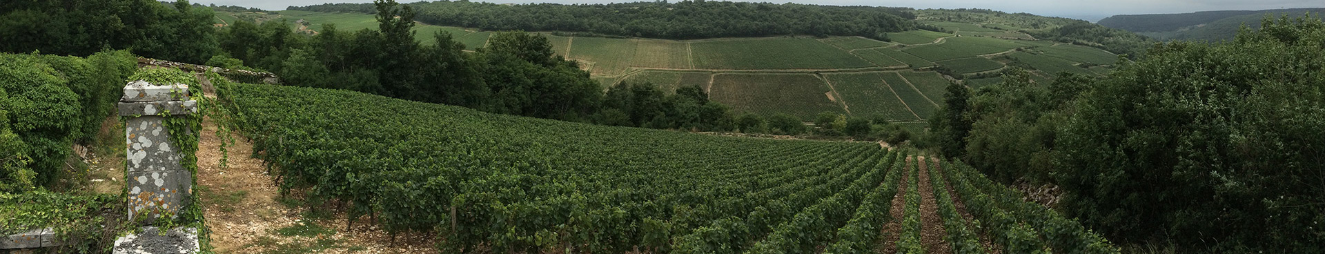 Picture of a vineyard in Burgundy